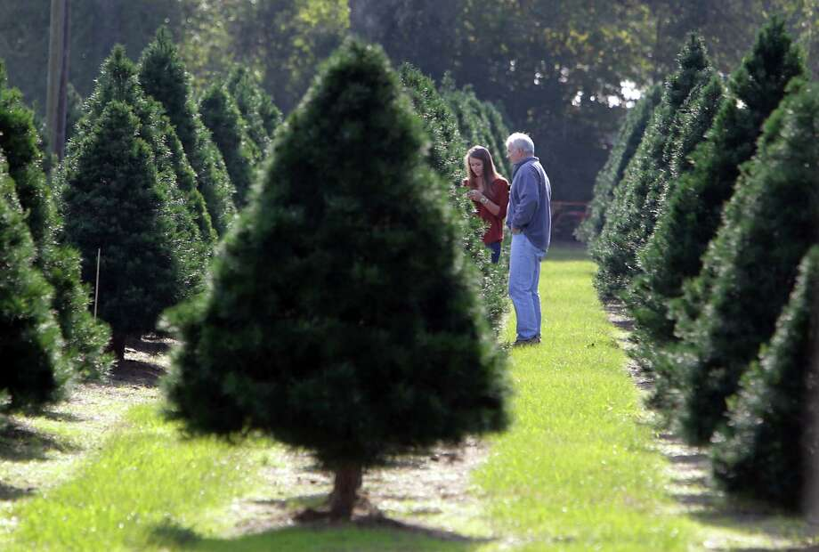 Molly Hamill left, and her father Dick Hamill look over Christmas trees with their family at Old Time Christmas Tree Farm Saturday, Nov. 30, 2013, in Spring. Photo: James Nielsen, Houston Chronicle / © 2013  Houston Chronicle