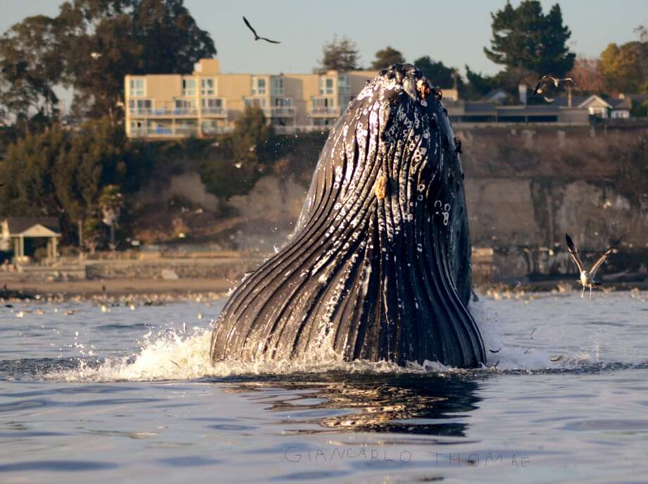 A lunge feeding humpback showed off its extended throat pleats next just offshore Capitola Photo: Giancarlo Thomae/Sanctuary Cruises
