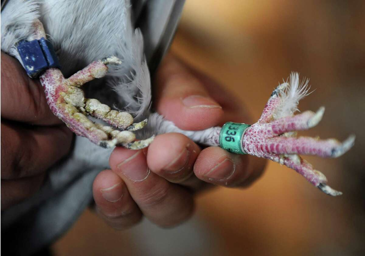 Shokri Enbawe who grew up in Palestine, shows the number band on one of his pigeons in a pigeon coop at his home on Friday, Nov. 29, 2013 in Albany, N.Y. Enbawe uses the birds for pigeon racing. (Lori Van Buren / Times Union) .
