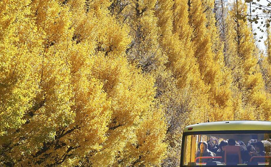On your right is a yellow tree. And another yellow tree. And more yellow trees ...Passengers on a tour bus   admire the autumn color of ginkgo trees in Tokyo. Photo: Koji Sasahara, Associated Press