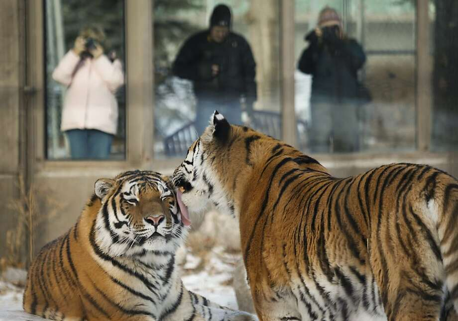 You've got something on your face ... A helpful Amur tiger gives its roomie a bath at the Calgary Zoo in Calgary. Photo: Jeff McIntosh, Associated Press