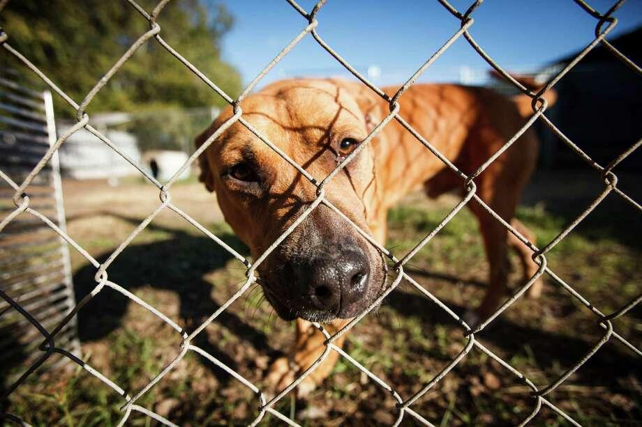 Cullen, a pit bull mix, at the Brazoria County Humane Society Photo: Michael Paulsen, Houston Chronicle / © 2013 Houston Chronicle