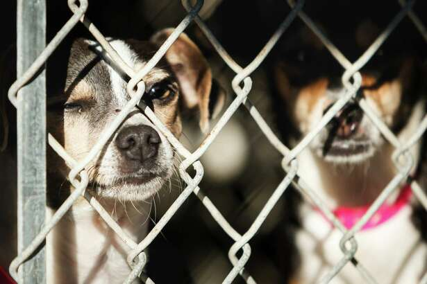 Mona Lisa, left and Lenda look out of their dog cages at the Brazoria County Humane Society, Monday, Dec. 2, 2013, in Manvel. The animal shelter is being forced to close due to an illness by the owner and a lack of volunteers. People wishing to adopt a pet should contact the Brazoria County Humane Society.