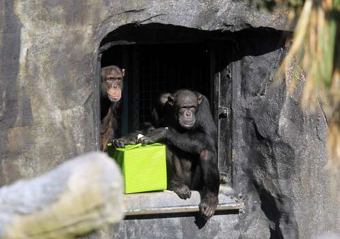 Chimpanzee Kenya sneaks her head out as Sierra opens a snack wrapped in a birthday box since she turns 14 years-old the day the six chimpanzees are revealed at the Houston Zoo on Tuesday, Dec. 3, 2013, in Houston. Photo: Mayra Beltran, Houston Chronicle / © 2013 Houston Chronicle