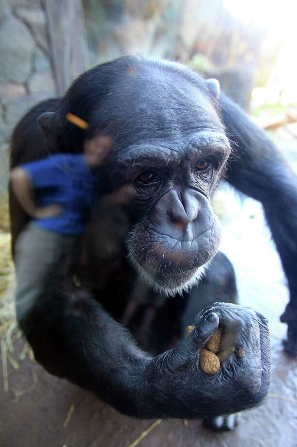 Sierra eats her birthday snacks as the Chimpanzees explore their new home at the Houston Zoo on Tuesday, Dec. 3, 2013, in Houston. Photo: Mayra Beltran, Houston Chronicle / © 2013 Houston Chronicle