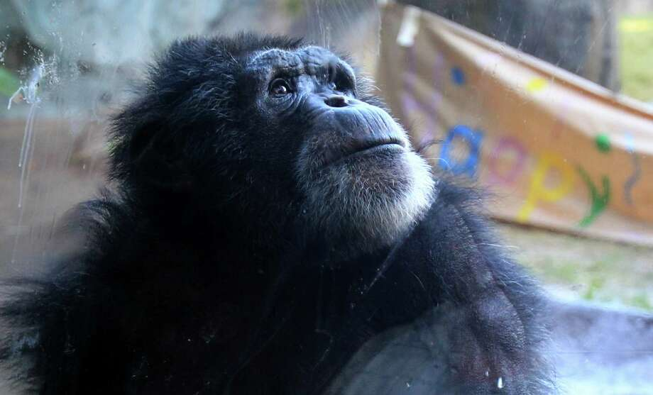 Chimpanzees Toby explores his new home at the Houston Zoo on Tuesday, Dec. 3, 2013, in Houston. Photo: Mayra Beltran, Houston Chronicle / © 2013 Houston Chronicle