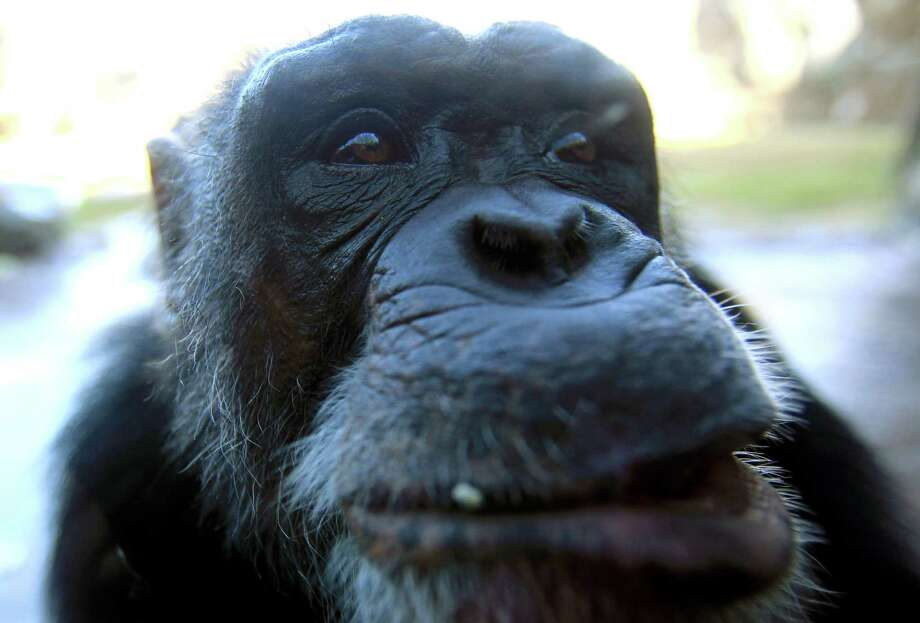 Sierra is one of six Chimpanzees who found a new home at the Houston Zoo on Tuesday, Dec. 3, 2013, in Houston. Efforts from the Lincoln Park Zoo's Project ChimpCARE, the Houston Zoo, and the chimp's owners Curtis and Bea Shepperson brought the chimps to the Houston Zoo. The Shepperssons had been under pressure from officials in the Mechanicsville, Virginia area to relocate the chimps because of a recent escape and the lack of proper licenses. Photo: Mayra Beltran, Houston Chronicle / © 2013 Houston Chronicle