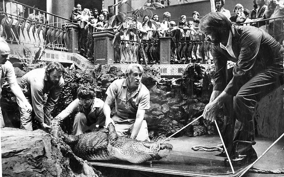 Dr. Murray Fowler (center), a veterinarian from UC Davis, leads a team immobilizing an alligator at the aquarium in 1979. Photo: Jerry Telfer, The Chronicle