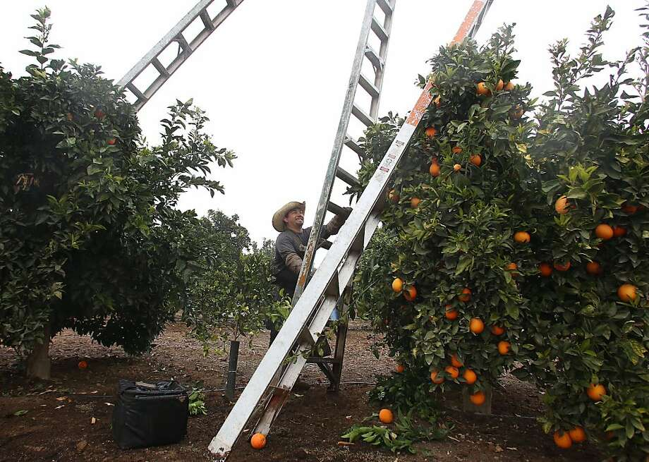 Picker Jesus Rodriguez was one of several field workers scrambling to pick oranges in the rain at B. Hardin Ranches before an upcoming cold front threatens to hit the west coast Tuesday, Dec. 3, 2013 in Ivanhoe, Calif. (AP Photo/Gary Kazanjian) Photo: Gary Kazanjian, Associated Press
