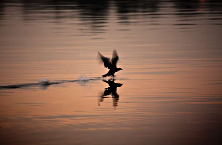 A bird takes flight at dawn after swimming in the Tidal Basin at the Jefferson Memorial in Washington, Tuesday, Dec. 3, 2013.  (AP Photo/J. Scott Applewhite) Photo: J. Scott Applewhite, Associated Press