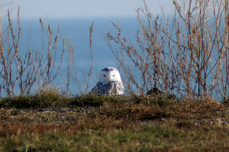 Connecticut Audubon Society - Snowy owls, which normally live year-round in the tundra habitat of northern Canada, have been showing up in Connecticut this fall. This one was seen in Stratford, and others have been spotted in Bridgeport, Milford and Fairfield. Photo: Contributed Photo / Connecticut Post Contributed