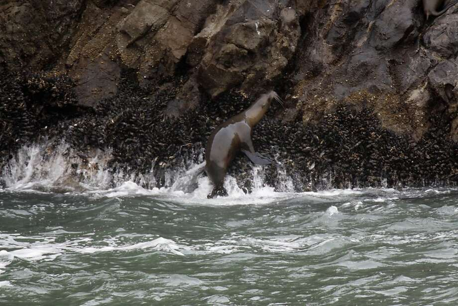 A sea lion heads up Seal Rocks off S.F., as did its forebears years ago. Photo: Lea Suzuki, The Chronicle