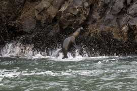 A sea lion makes its way out of the water onto Seal Rocks north of Ocean Beach on Wednesday July 29, 2009 in San Francisco, Calif.