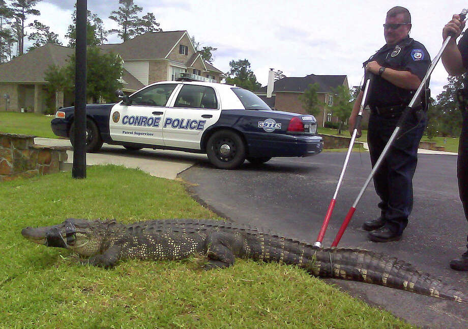 Conroe police on Tuesday  removed this 7-foot, 7-inch alligator from a back yard in the Silverstone  subdivision. Officer Joe Oldner is on the left. Sgt. James Kelemen, mostly  obscured, is on the right.  Photo: Conroe Police Department