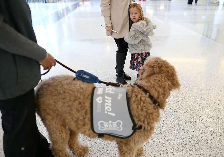 Totally stressing out over petting the therapy dog:A young girl contemplates petting a therapy dog named   Donner inside Terminal 2 at San Francisco International Airport. The San Francisco SPCA and SFO joined forces to launch the Wag Brigade, a team of certified therapy dogs that will   patrol the airport during the holidays to help calm stressed travelers. Photo: Justin Sullivan, Getty Images