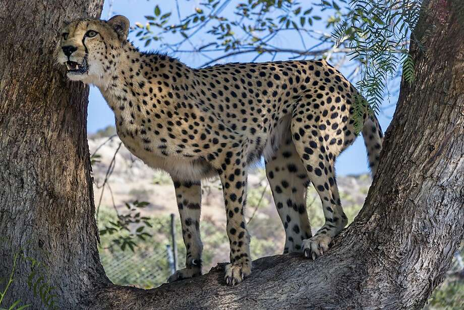 As 14-year-old males have been doing forever: Fourteen-year-old Noka climbs a tree at San Diego Safari Park to peek into the adjoining exhibit of a female cheetah. The zoo eventually hopes to breed the pair. Photo: Ken Bohn, Associated Press