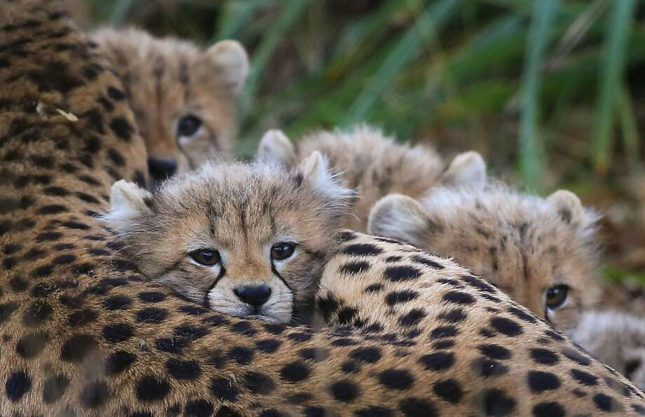 Fewocious pwedators:Four cheetah cubs lie in wait, ready to pounce on any gazelle, rabbit or zookeeper foot that comes within range. If Mom says it's OK, that is. (Port Lympne Wild Animal Park near Ashford, England.) Photo: Gareth Fuller, Associated Press