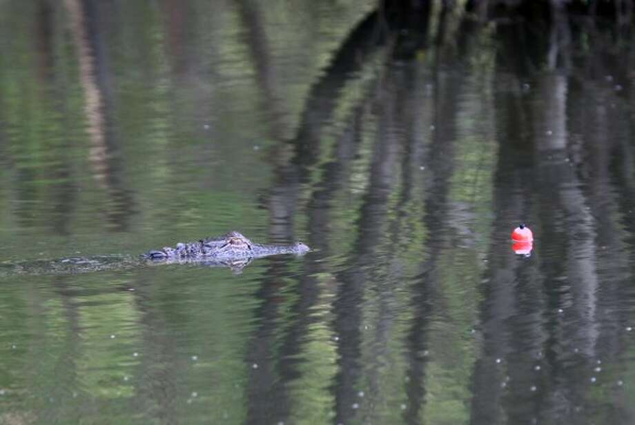 An inquisitive young alligator approaches a fishing cork floating on a cypress-lined backwater off an East Texas river. (Shannon Tompkins / Houston Chronicle)