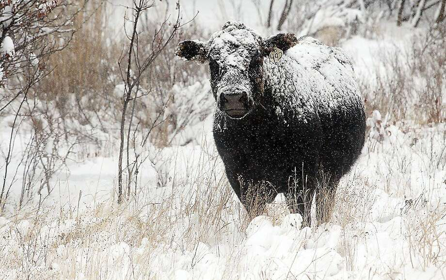 In this photo taken on Tuesday, Dec 3, 2013, a snow-covered cow munches on grass in Beaver Creek Park south of Havre, Mont. A wintry storm pushing through the Rockies and Midwest is bringing bitterly cold temperatures and treacherous driving conditions. (AP Photo/Havre Daily News, Lindsay Brown) Photo: Lindsay Brown, Associated Press