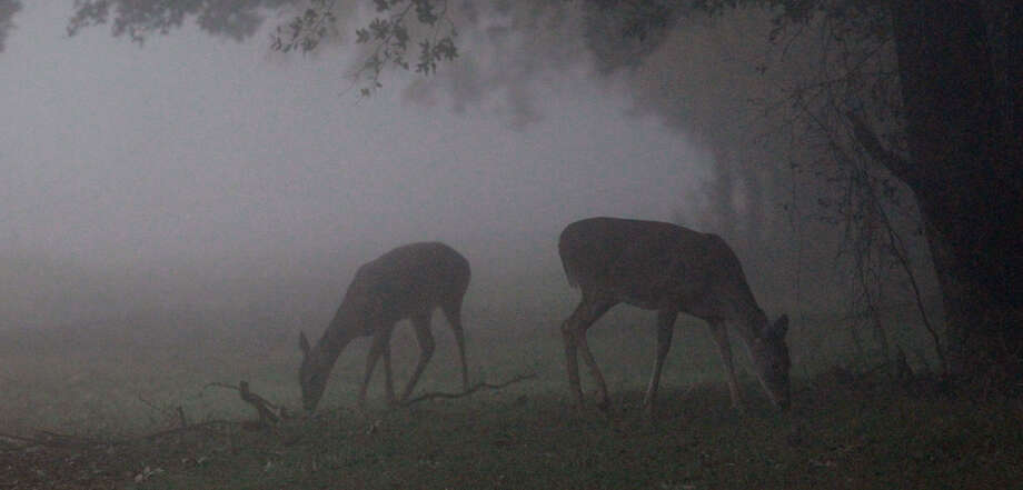 Deer grazing in McAllister Park present a pastoral image in the fog early Wednesday. A fog advisory was in effect this morning, before the front arrives. Photo: John Davenport / San Antonio Express-News