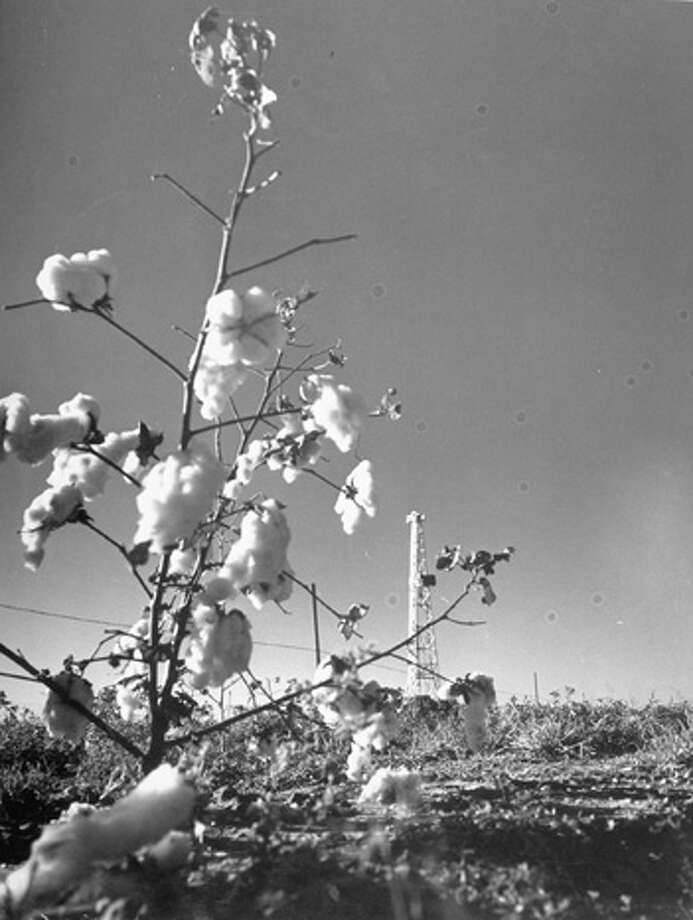 Sun shining on field of cotton and gleaming oil derrick, symbol of new crop that is making Scurry County rich.  (Photo by Frank Scherschel//Time Life Pictures/Getty Images) Photo: Frank Scherschel, Time & Life Pictures/Getty Image / Time Life Pictures
