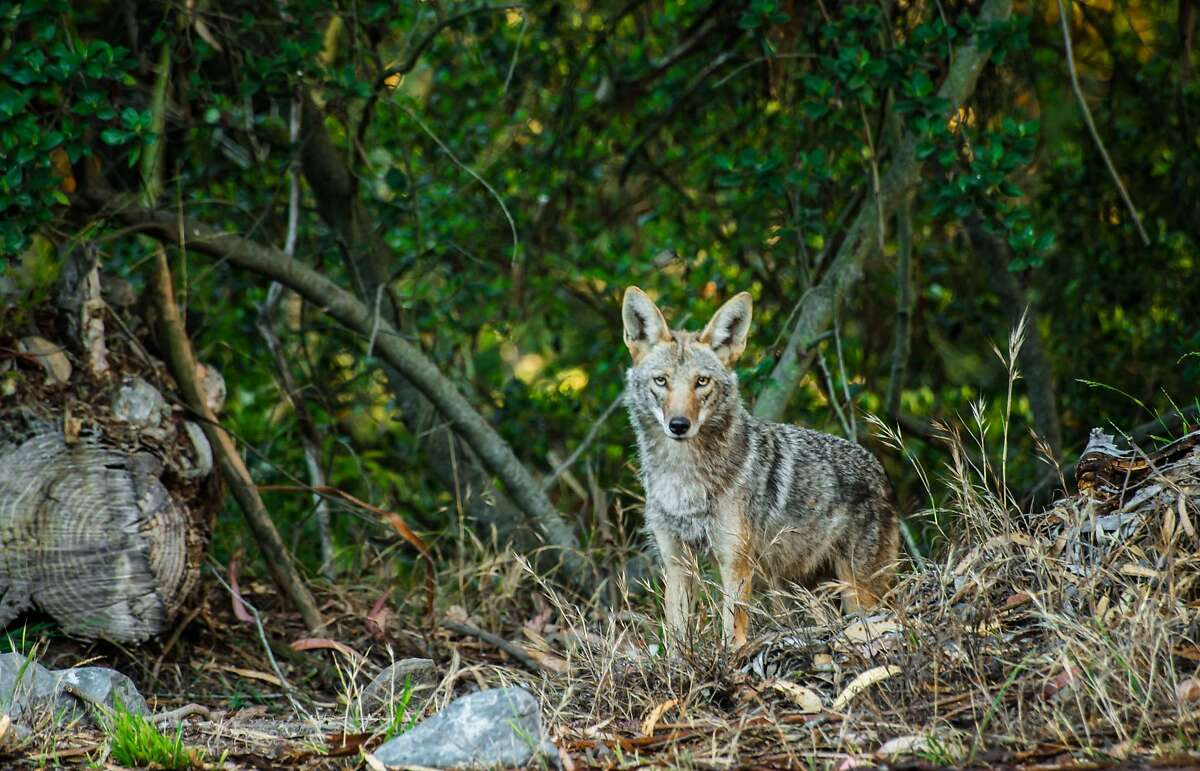 Coyote, with no natural enemies, is unafraid in San Francisco's Golden Gate Park