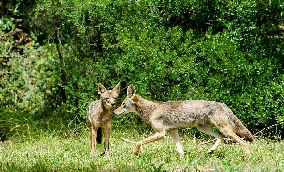 The good health of these coyote yearlings in San Francisco's Golden Gate Park show that population is expanding Photo: David Cruz, Natures Lantern