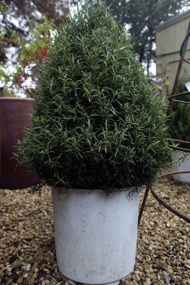 A sheared rosemary bush has the right shape for a Christmas tree and will make a good addition to the landscape. Photo: Express-News File Photo