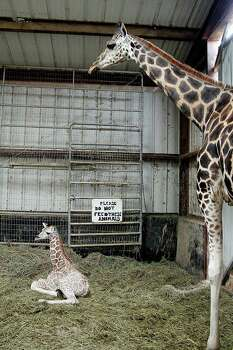 Toby the baby giraffe, born the night before Thanksgiving at Bayou Wildlife Zoo, relaxes near his mother, Bella.  Photo: Pin Lim, For The Chronicle / Copyright Pin Lim.