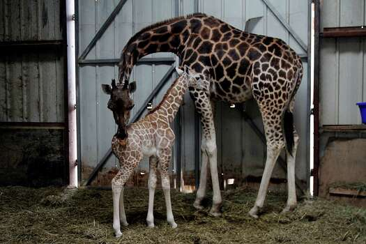 Toby the baby giraffe, born the night before Thanksgiving at Bayou Wildlife Zoo, relaxes near his mother, Bella. Photo by Pin Lim. Photo: Pin Lim, For The Chronicle / Copyright Pin Lim.