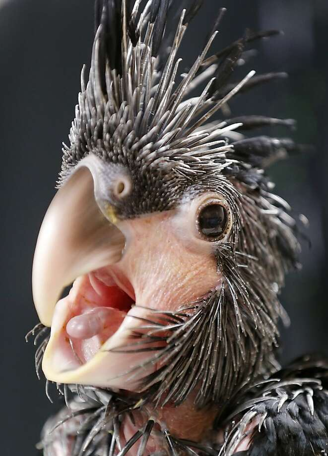 Punk plumage:With its mutton-chop sideburns and spiked top, the baby palm cockatoo is not what most people would call cute. Fortunately, this little bird at the Prague Zoo will mature into a much more attractive creature. Photo: Petr David Josek, Associated Press