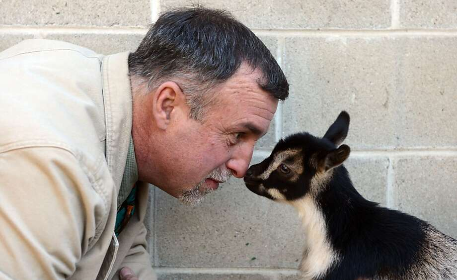 Goatee meets goat babe-ee:Beardsley Zoo Director Gregg Dancho is a buttinski when it comes to invading a newborn goat's personal space at the zoo in Bridgeport, Conn. Photo: Autumn Driscoll, Connecticut Post