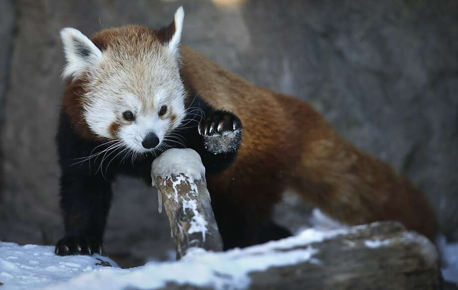 Pawing a popsicle: While some red pandas do encounter snow in the wild, the ice coating a limb at the Denver Zoo seems to be a new experience for Daisy. Photo: Brennan Linsley, Associated Press
