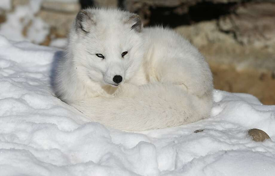 White on white:Nola the arctic fox curls up like whipped meringue on the snow on a bitter-cold day at the Denver Zoo. Photo: Brennan Linsley, Associated Press