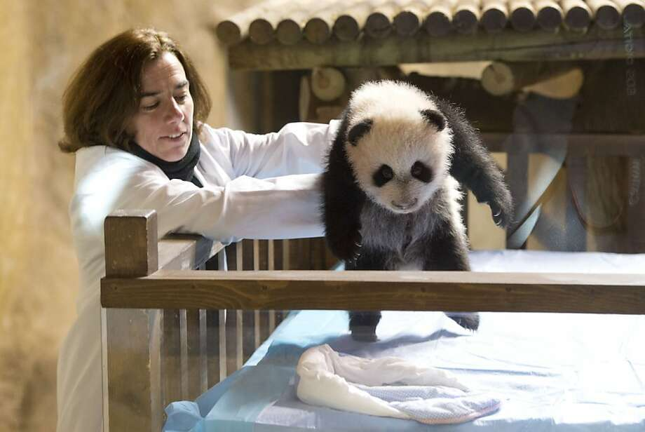But I'm not ready for bed yet!Xing Bao is tucked into his crib at the Madrid Zoo. Photo: Javier Soriano, AFP/Getty Images