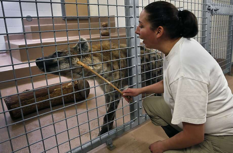 Ah, much better: At the Denver Zoo, keeper Jennifer Callaway uses a back scratcher to relieve Kibo the spotted hyena, because an itchy neck is nothing to laugh about. Photo: Brennan Linsley, Associated Press