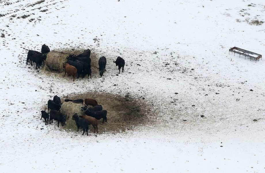 Livestock huddle as they feed in an open field covered in ice, Saturday, Dec. 7, 2013, near Corinth, Texas. Photo: Tony Gutierrez, Associated Press / AP