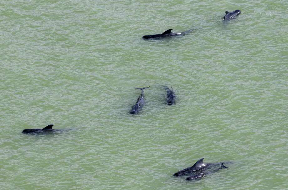 In a Wednesday, Dec. 4, 2013 file photo, dozens of pilot whales are stranded in shallow water in a remote area of Florida's Everglades National Park. Wildlife officials are ceasing efforts to rescue a pod of whales that was stranded in the Everglades after losing sight of the marine mammals. The National Park Service says aerial and boat survey teams could not locate the whales Saturday, Dec. 7, a potentially encouraging sign that they have moved farther offshore. While authorities are hopeful the whales are headed back to the deeper, colder waters that form their natural habitat, they cannot say for sure. Photo: Lynne Sladky, AP / AP