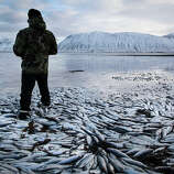Herring worth  billions in exports are seen floating dead Tuesday Feb. 5 2013 in Kolgrafafjordur, a small fjord on the northern part of Snaefellsnes peninsula, west Iceland, for the second time in two months. Between 25,000 and 30,000 tons of herring died in December 2012 and more now, due to lack of oxygen in the fjord thought to have been caused by a landfill and bridge constructed across the fjord in December 2004.