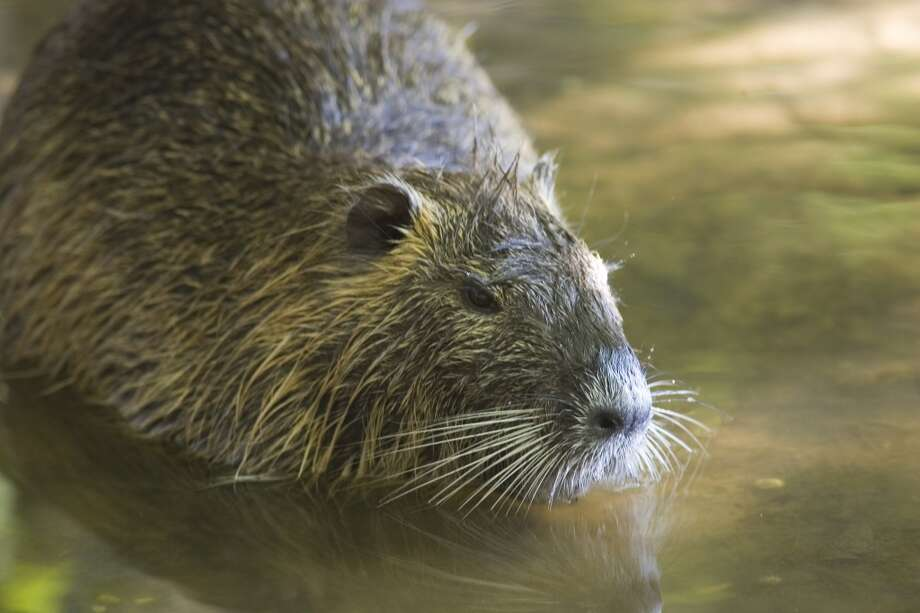 The semi-aquatic Myocastor coypus is blamed for decimating marshlands worldwide. This one makes its home in in Jones County Park in Humble. Photo: Houston Chronicle File