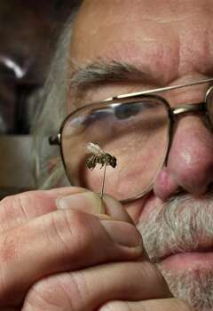A scientist examines an Africanized bee that migrated north from Mexico. Photo: J. VICTOR ESPINOZA, New Mexico State / AP
