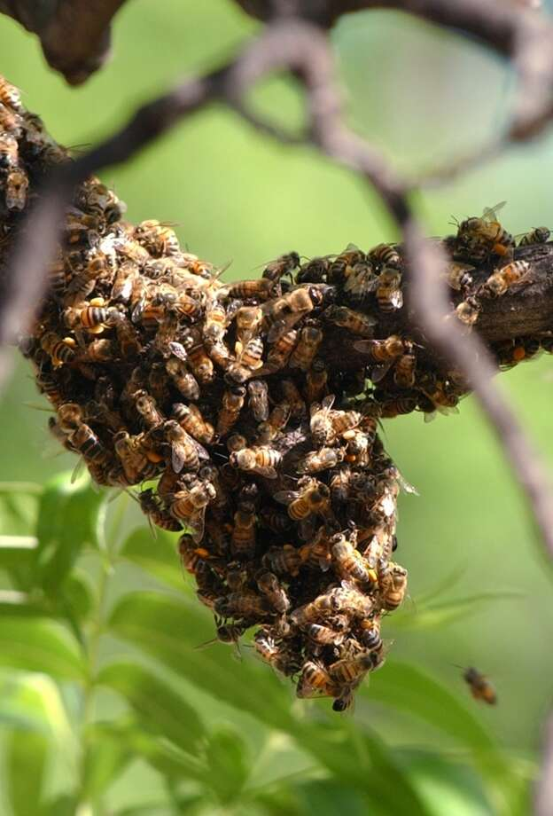 Residents noticed a growing number of attacks starting in 2004 and an expert attempted to poison Abilene's Africanized bee population. Photo: JOSIE LIMING, Abilene Reporter-News / AP