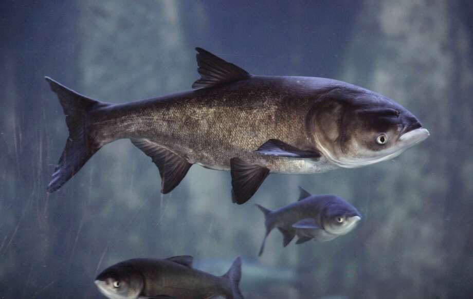An Asian bighead carp is shown at Chicago's Shedd Aquarium in 2010. Texas is fighting four different varieties now. Photo: M. Spencer Green, Associated Press