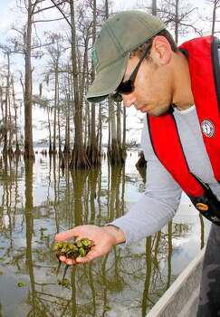 Mike Homer of the Texas Parks and Wildlife Department says giant salvinia is one of the nation's most aggressive and destructive invasive aquatic plants. Photo: Shannon Tompkins, Houston Chronicle