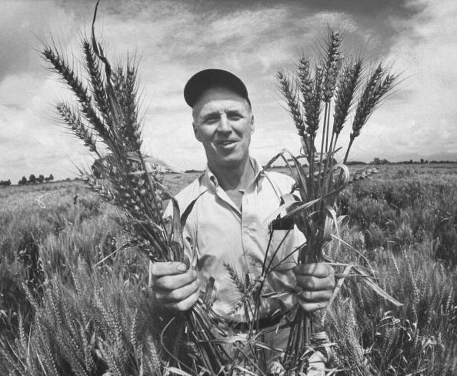 "Biologist, Dr. Norman Borlaug was awarded the Nobel Peace Prize in 1970 for his contributions towards the ""Green Revolution."" Photo: Art Rickerby, Getty / Time Life Pictures"