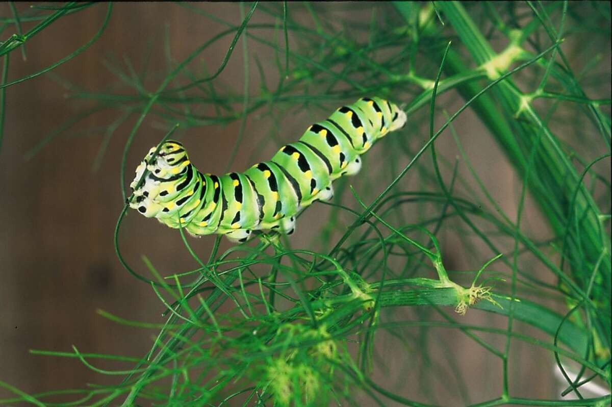 We generally tolerate parsleyworms, because they are the caterpillar of the western parsley swallowtail butterfly. We often simply relocate these caterpillars from our garden plants to wild fennel.