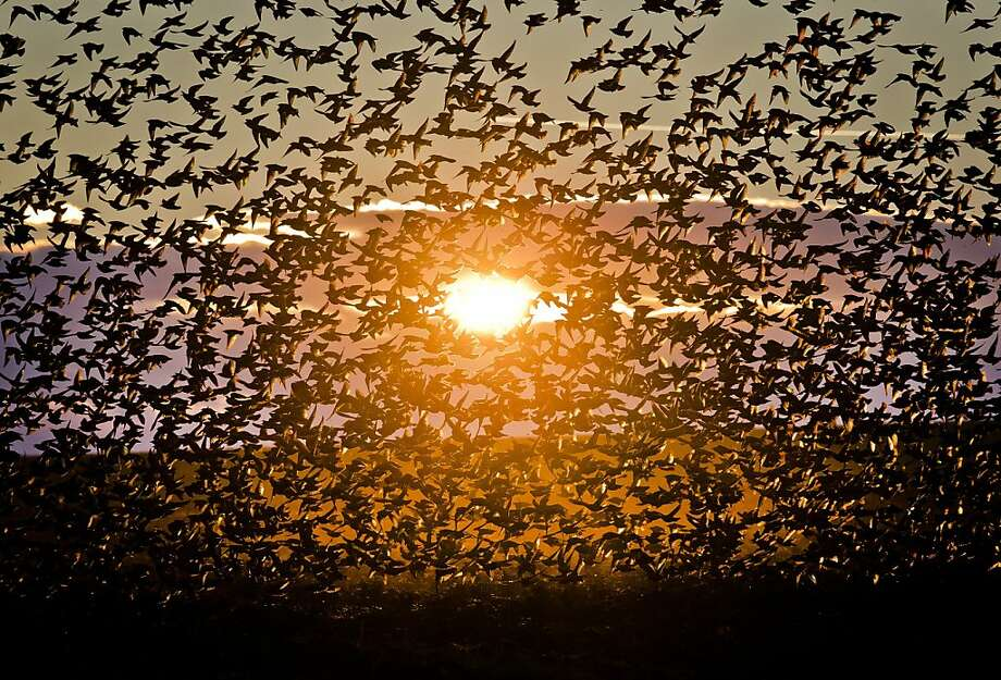 A murmuration of starlings: Starlings take flight after feeding on grain in a field in Bacau, Romania. Photo: Vadim Ghirda, Associated Press