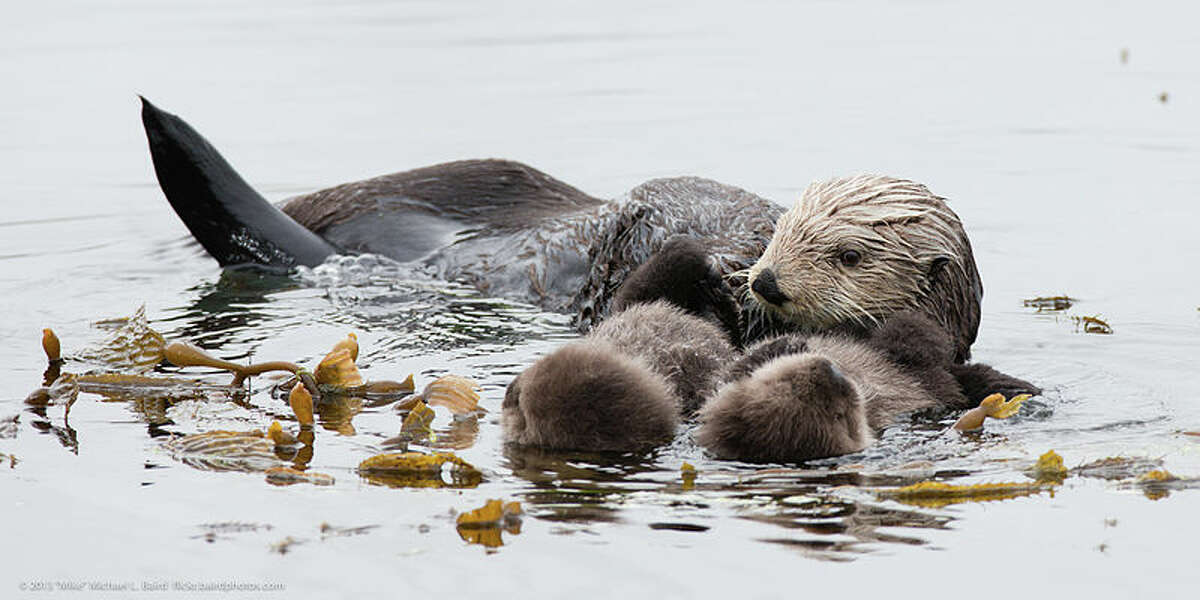 A mother sea otter with twin pups floats off the California coast.