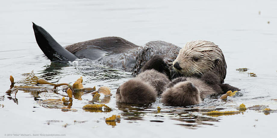 A mother sea otter with twin pups floats off the California coast. Photo: Mike Baird, Courtesy Ocean Conservancy