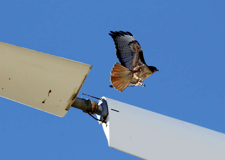 A Red-Tailed Hawk takes off from an idle turbine blade on Monday Dec. 9, 2013. The wind turbine is in the process of being taken down at a wind farm that sits on newly acquired property by the East Bay Regional Park District near Livermore, Ca. A decision by President Obama to allow wind energy companies to kill eagles and birds for thirty years could have a significant impact on the Bay Area, where one of the country's deadliest collection of wind turbines sits on the Altamont Pass. Photo: Michael Macor / The Chronicle / ONLINE_YES